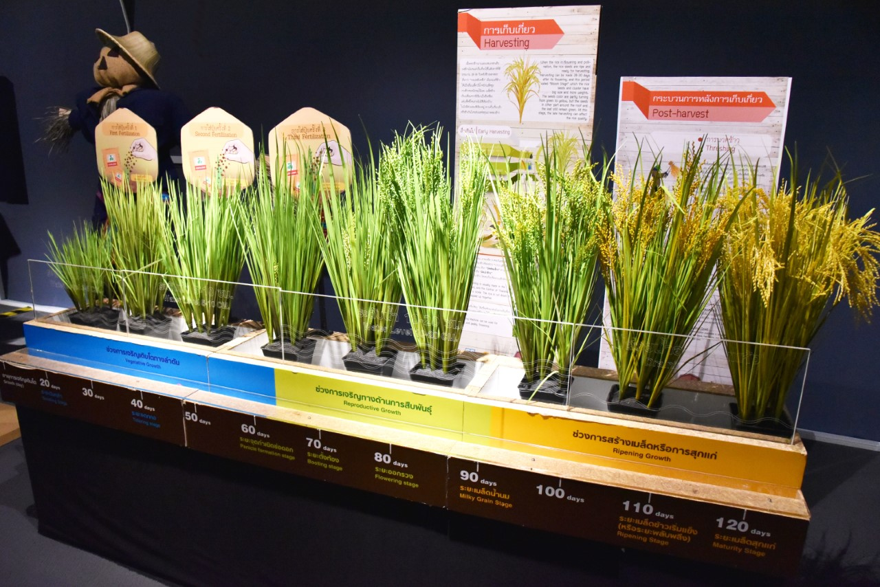 thumbnail_Rice Growth Stages